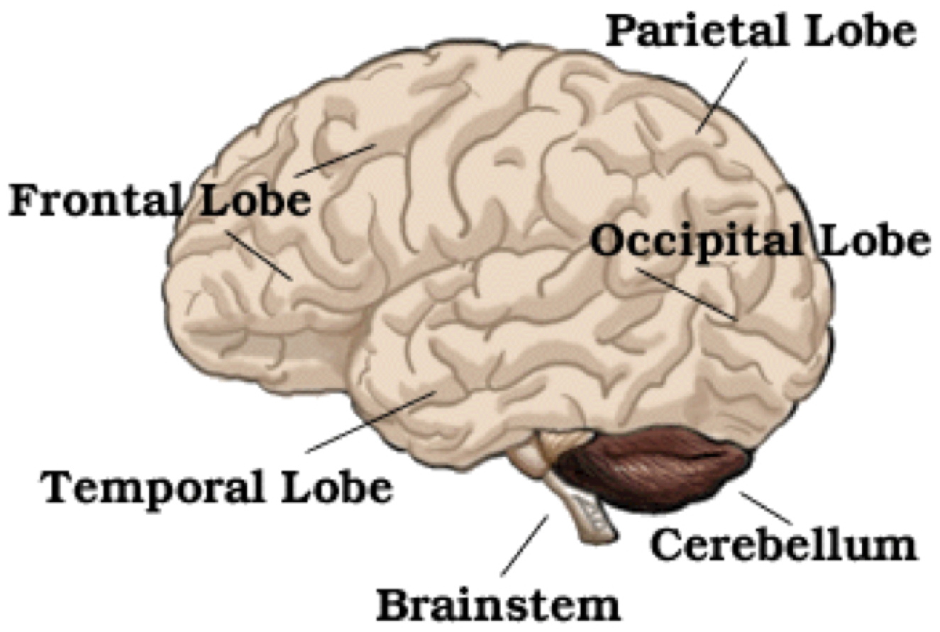 Principal Lobes Of The Brain