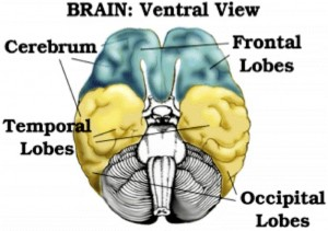 Brain Ventral View