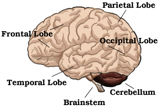 Brainstem brain stem and cerebellum the cerebellum is the largest part of the hindbrain the structures behind the cerebral hemispheres it is the dark brown area on the right hand diagram ccuart Gallery