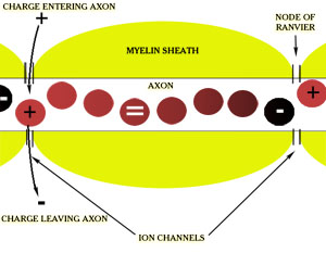 Axon and Ion Channels